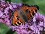Motyle krajowe