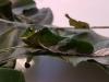 Papilio lowi