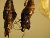 hodowla-motyl-z-poczwarki