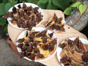 Stołówka motyli,w menu sfermentowane jabłka