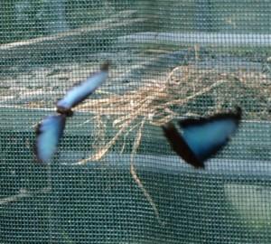 Zadanie życiowe motyli to odnaleźć partnera (M.peleides)