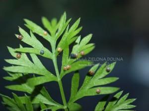 Jajeczka Pazia królowej naliściu marchwi - widoczne różne fazy rozwoju larw wewnątrz osłonek
