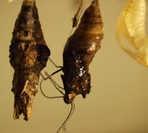Tropikalny motyl P.thoas wychodzący z poczwarki