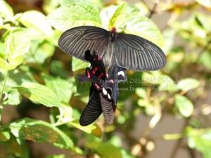 Połączone w pary motyle tropikalne A. polyeuctes