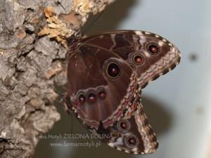 Połączone w pary motyle tropikalne M. peleides