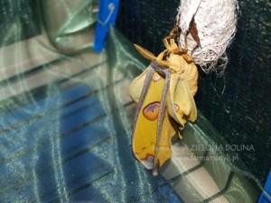 Tropikalna ćma A. mittrei świeżo po wykluciu rozprostowuje skrzydełka