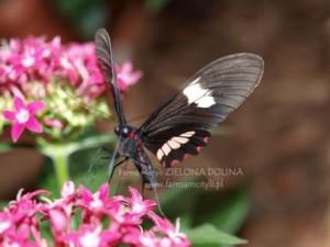 Posilający się nektarem kwiatów P. arcas