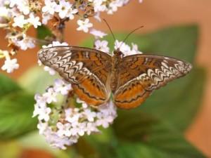 Żywe motyle tropikalne