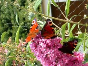 Buddleja davidii - krzew uwielbiany przezmotyle