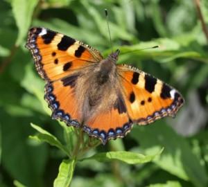 Motyl zzzestwu Rusałki