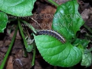 Gąsienica perłowca nafiołku
