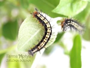 Młode gąsienice Rusałki Laik