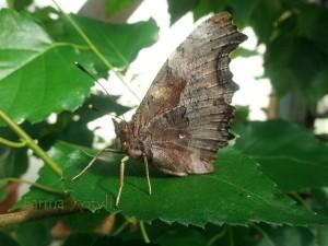 Dorosły motyl zezłożonymi skrzydłami. Widoczne białe znamię odktóregomotyl otrzymał swoja nazwę.