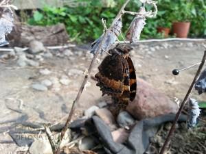 Rusałka drzewoszek powykluciu zpoczwarki