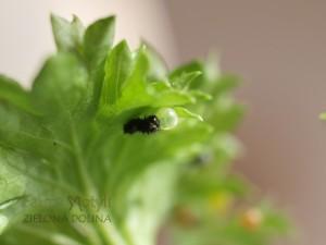 Wykluwa się gąsienica
