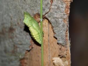 Nie wiadomo, dlaczego niektóre poczwarki przybierają zieloną barwę.