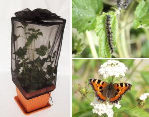 zestaw-larvae-sadzonka-pokrzywnik